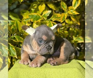 French Bulldog Puppy for sale in WINCHESTER, MA, USA