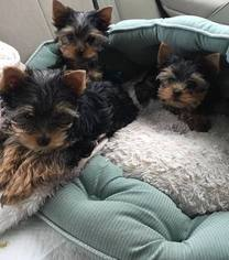 Yorkshire Terrier Puppy For Sale in SAN DIEGO, CA