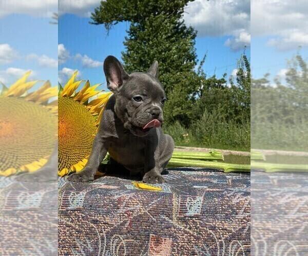 Medium Photo #5 French Bulldog Puppy For Sale in JERSEY CITY, NJ, USA