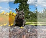 Small Photo #5 French Bulldog Puppy For Sale in JERSEY CITY, NJ, USA