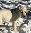 Labrador Retriever Puppy For Sale in NEW ALBANY, PA,