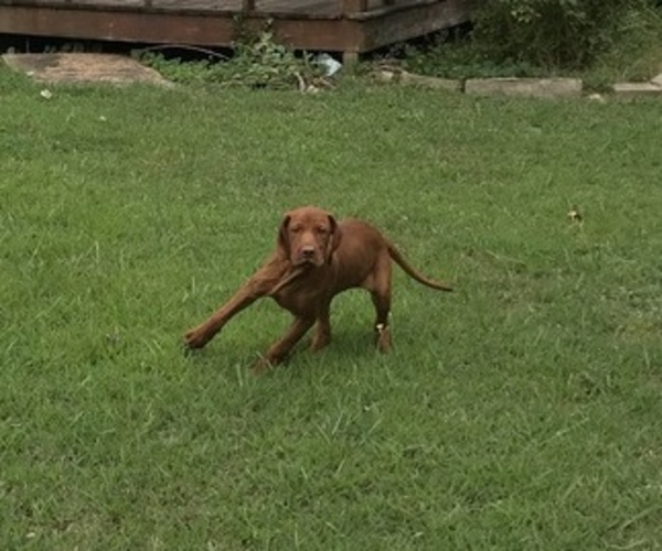 Medium Photo #6 Vizsla-Weimaraner Mix Puppy For Sale in KILLEN, AL, USA