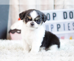 Shih Tzu-Unknown Mix Puppy for sale in FULLERTON, CA, USA