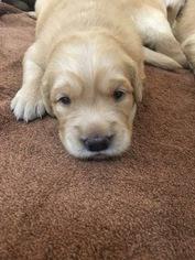 Golden Retriever Puppy For Sale in SUFFOLK, VA