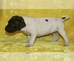 Puppy 3 German Shorthaired Pointer