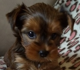 View Ad Yorkshire Terrier Puppy For Sale Texas San Antonio Usa