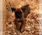 Puppy 1 Staffordshire Bull Terrier