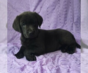 Labrador Retriever Puppy for sale in DRY RUN, PA, USA