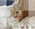 Small #27 English Bulldog