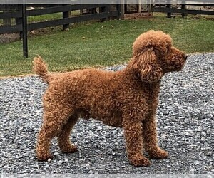 Father of the Goldendoodle-Poodle (Miniature) Mix puppies born on 12/16/2020