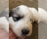 Puppy 7 Great Pyrenees