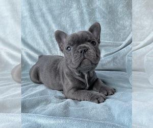 French Bulldog Puppy for sale in MCKINNEY, TX, USA