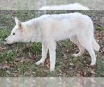 Small #4 Wolf Hybrid