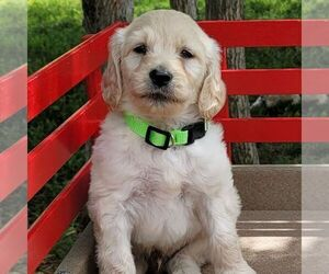 Goldendoodle-Poodle (Miniature) Mix Puppy for sale in BURKE, NY, USA
