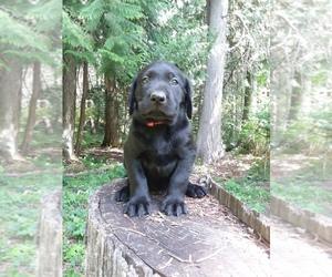 Labrador Retriever Puppy for sale in NOXON, MT, USA
