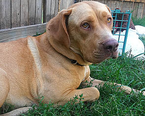 Labs, Labs, Labs - Labrador Retriever / Mixed (short coat) Dog For Adoption