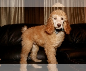 Poodle (Standard) Puppy for sale in GLENDALE, AZ, USA