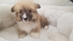 Cardigan Welsh Corgi Puppy For Sale in LA MIRADA, CA, USA