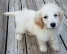 Goldendoodle Puppy For Sale in AKRON, OH, USA