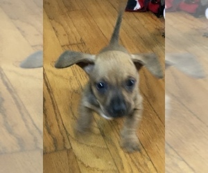 Dachshund Puppy for sale in LONG BEACH, CA, USA