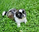 Shih Tzu Puppy For Sale in ASHBURNHAM, MA, USA