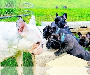 French Bulldog Puppy for Sale in ELGIN, Illinois USA