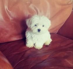 Maltese Puppy For Sale in EL CAJON, CA, USA