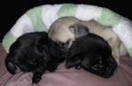 Pug Puppy For Sale in SEBASTIAN, FL