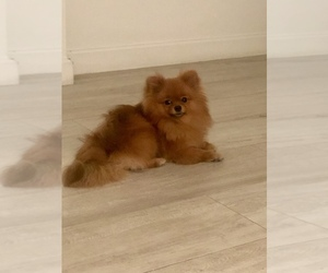 Pomeranian Puppy for Sale in MIAMI, Florida USA