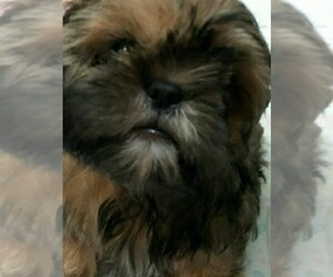 Shih Tzu Puppy for Sale in MYRTLE BEACH, South Carolina USA