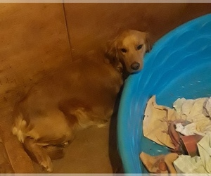 Mother of the Golden Retriever puppies born on 05/27/2020