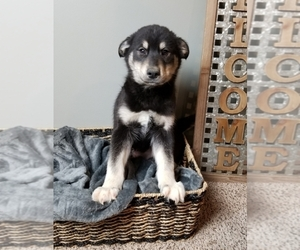 Goberian Puppy for sale in GREENWOOD, IN, USA