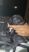 Puppy 8 Cane Corso