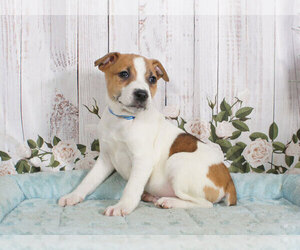 Jack Russell Terrier Puppy for sale in PENNS CREEK, PA, USA
