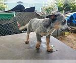 Puppy 2 Australian Cattle Dog
