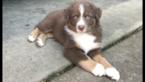 Australian Shepherd Puppy For Sale in LEXINGTON, KY, USA