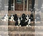 Bernedoodle Puppy For Sale in HIGDON, AL, USA