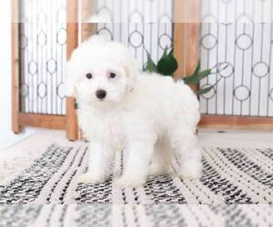 Cavapoo Puppy for sale in NAPLES, FL, USA