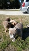 3 gorgeous male pitbull puppies
