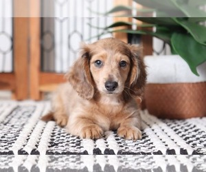 Dachshund Puppies For Sale Near Frostproof Florida Usa Page 1