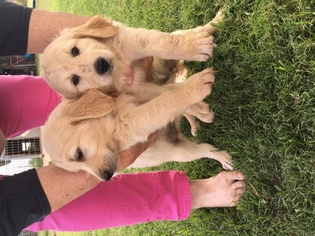 Goldendoodle Puppy For Sale in PERRIN, TX