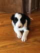 Small #2 Border Collie