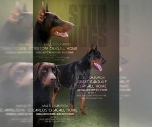 Doberman Pinscher Puppy for sale in PORTLAND, OR, USA