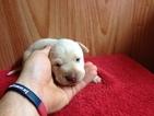 Labrador Retriever Puppy For Sale in DILLWYN, Virginia,