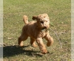 Small #1 Australian Labradoodle-Poodle (Standard) Mix