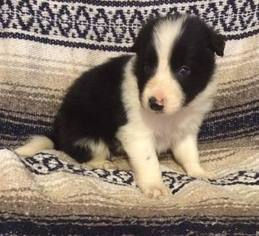 Border Collie Puppy For Sale in STATHAM, GA, USA