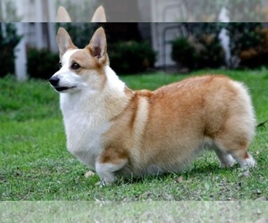 Pembroke Welsh Corgi Puppy for Sale in MAGNOLIA, Texas USA