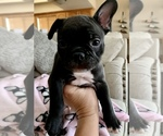 Small Photo #5 French Bulldog Puppy For Sale in EL PASO, TX, USA