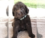 Small #10 Labradoodle