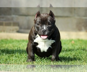 American Bully Dog for Adoption in SANTA PAULA, California USA